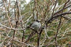 Gorrión en la rama de árbol Fotos de archivo