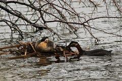 Un grèbe étranglé rouge masculin maintenant le nid de flottement Photos libres de droits