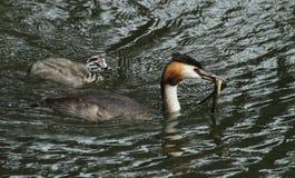 Un gran cristatus adulto del Podiceps del colimbo con cresta con un pescado en su cuenta que es alrededor alimentar a su bebé lin Imagen de archivo libre de regalías