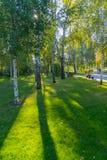 Un gran número de abedules en el césped verde suavemente brillado de la zona del parque Imagen de archivo libre de regalías