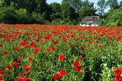 Un gran número de amapolas rojas en el campo cerca de la casa campesina del ` s foto de archivo