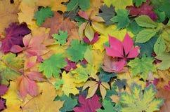 Un gran número de hojas de otoño caidas y amarilleadas en la tierra Textur del fondo del otoño Imágenes de archivo libres de regalías