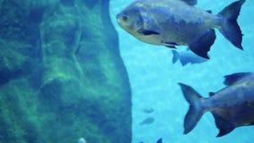Un gran número de nadada de los pescados alrededor de los filones Buceo con escafandra en máscaras Isla tropical Luz del sol a tr almacen de metraje de vídeo