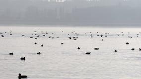 Un gran número de patos salvajes en el lago almacen de video
