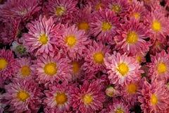 Un gran numero dei crisantemi di fioritura rossi si è raccolto in una p Fotografia Stock