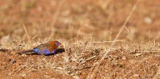 Un granadero púrpura en la tierra Foto de archivo libre de regalías
