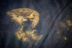 Un granchio di roccia giallo nell'isola di Sanibel, Florida immagini stock libere da diritti