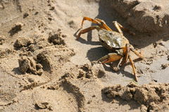 Un granchio sulla spiaggia Fotografia Stock Libera da Diritti