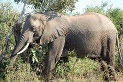 Un grand éléphant africain gris juste après patauger Images libres de droits