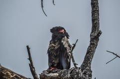 Un grand aigle de Bateleur de mâle était perché sur une branche d'arbre pendant le safari en Afrique du Sud photographie stock