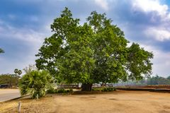 Un grand, antique arbre sur le territoire d'Angkor cambodia photos stock