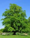 Un grand arbre de chêne dans l'avant un ciel bleu Image stock