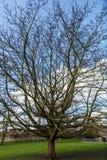 Un grand arbre sans feuilles en automne Photo libre de droits