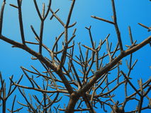 Un grand arbre sans feuilles et un ciel bleu Image stock