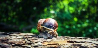 Un grand bel escargot fait une promenade insouciante le long de l'écorce du vieil arbre photographie stock