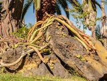 Un grand cactus serpente au-dessus d'une roche photos libres de droits