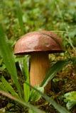 Un grand champignon brun de forme parfaite dans l'herbe humide images libres de droits