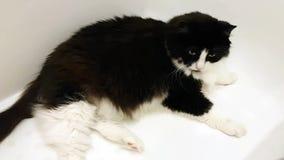 Un grand chat adulte se situe dans un bain blanc comme neige Regards autour avec la curiosité banque de vidéos