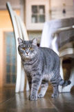 Un grand chat gris se tient dans la chambre et regarde Photos stock
