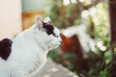 Un grand chat noir et blanc magnifique dans le jardin Photo libre de droits