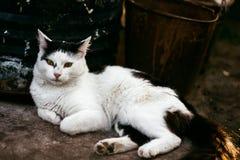 Un grand chat noir et blanc magnifique dans le jardin Images stock