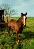 Un grand cheval brun à la ferme Photos libres de droits