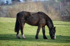 Un grand cheval humide mangeant l'herbe Photos libres de droits