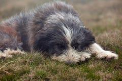 Un grand chien dans l'herbe photo stock