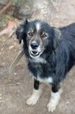 Un grand chien hirsute sur une chaîne Photo libre de droits