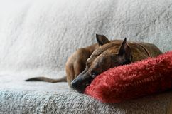 Un grand chien se trouvant sur un sofa beige mou avec l'oreiller rouge Photos libres de droits