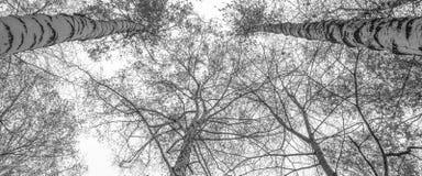 Un grand choix de couronne de bouleau dans la forêt d'automne contre le gris Photographie stock libre de droits