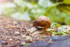 Un grand escargot brun s'introduit la forêt Photographie stock libre de droits