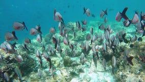 Un grand essaim pêche la natation dans le récif coralien clips vidéos