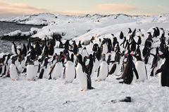 Un grand groupe de pingouins Images libres de droits