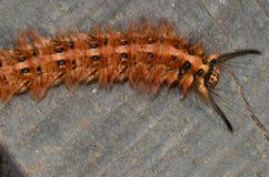 Un grand insecte brun de rampement avec des épines image libre de droits
