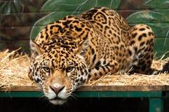 Un grand jaguar se trouvant sur un lit dans un zoo photographie stock