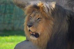 Un grand jeune lion brun mignon détendant dans une réservation de jeu en Afrique du Sud image libre de droits