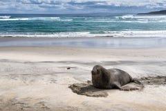 Un grand joint de fourrure se reposant sur la plage sablonneuse image libre de droits