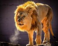 Un grand lion africain masculin avec une crinière d'or exhale dans le froid dans une clôture à un zoo photographie stock