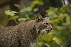 Un grand lynx eurasien montre les crocs photos libres de droits