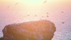 Un grand nombre de bassanus du nord de Morus de fous de Bassan banque de vidéos