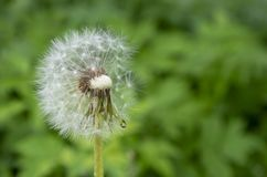Un grand nombre de pissenlits de floraison parmi l'herbe images libres de droits