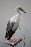 Un grand oiseau au-dessus d'étang Image libre de droits