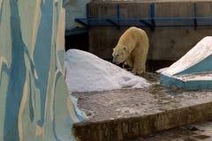 Un grand ours blanc blanc frotte son dos sur une colline de neige photo libre de droits