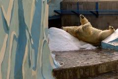 Un grand ours blanc blanc frotte son dos sur une colline de neige images libres de droits