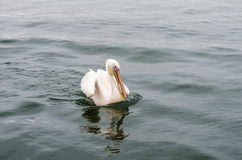 Un grand pélican blanc Photos libres de droits