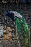 Un grand paon avec une queue multicolore luxueuse se repose sur une perche dans la perspective de la maçonnerie rugueuse, fin  photo libre de droits