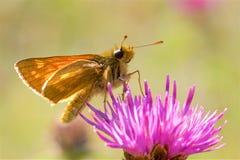 Un grand papillon de capitaine alimentant sur un chardon Images libres de droits
