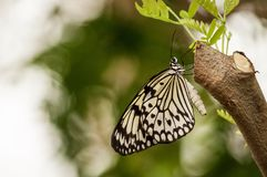 Un grand papillon de nymphe d'arbre image libre de droits