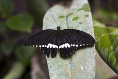Un grand papillon mormon Photos stock